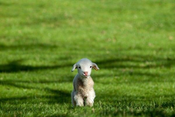 rêve agneau