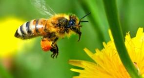 Rêver d'abeille