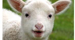 Rêver d'agneau