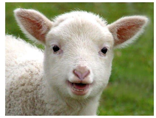 rêver d'agneau brebis