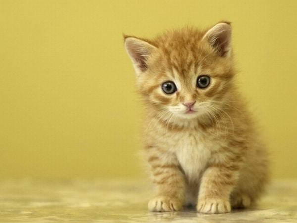 rêve de chat animal