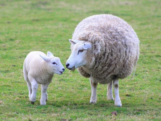 rêve mouton brebis laine