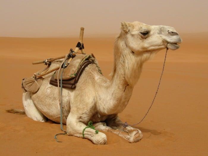 rêve chameau désert
