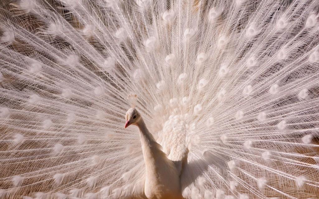 rêve plumage paon