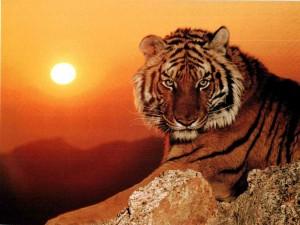 6054_tigre o soleil