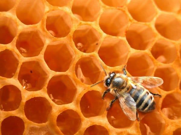 abeille-miel1