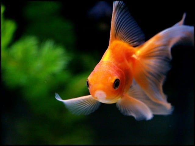 rêve poisson aquarium
