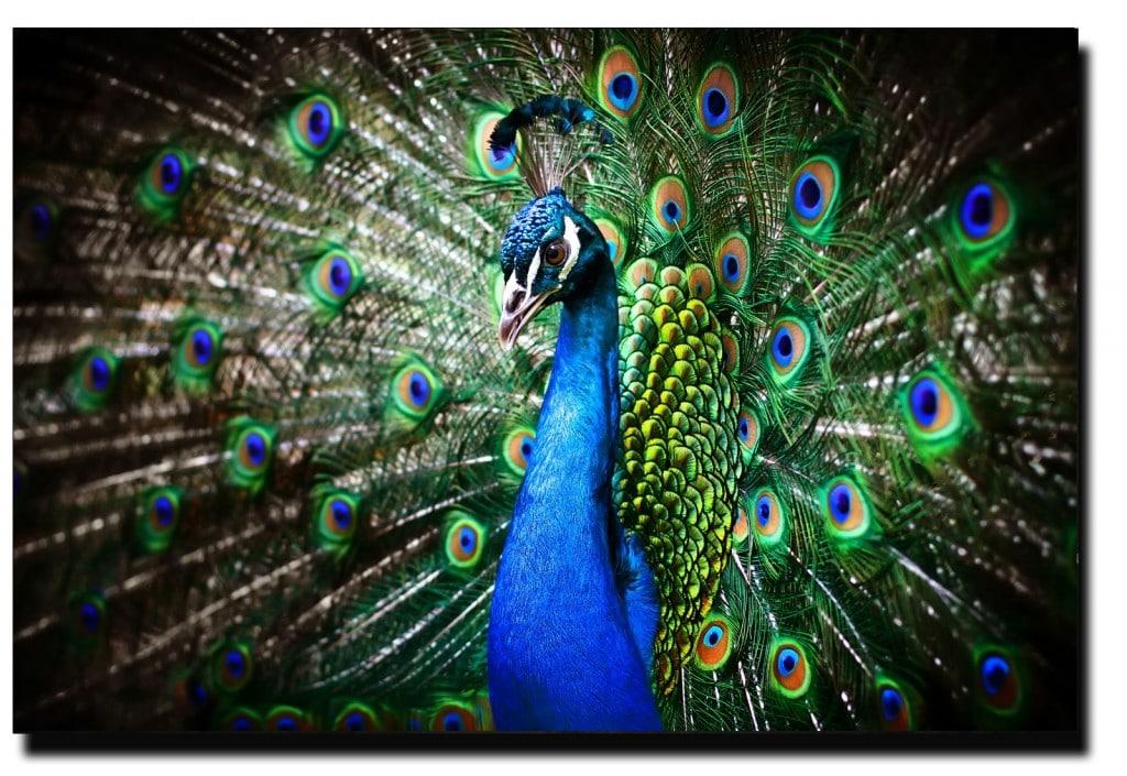 rêve paon oiseau