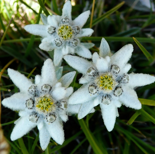 superstition edelweiss