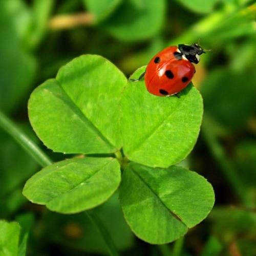 superstition trèfle à 4 feuilles