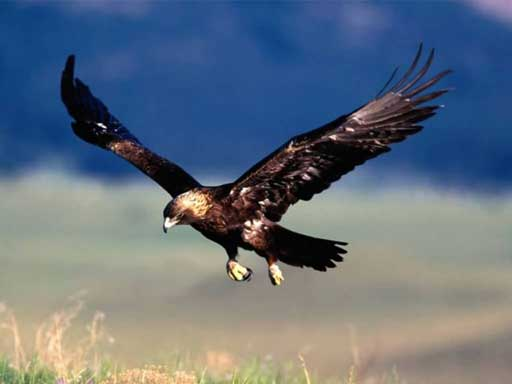 aigle royale
