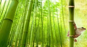 Rêver de bambou