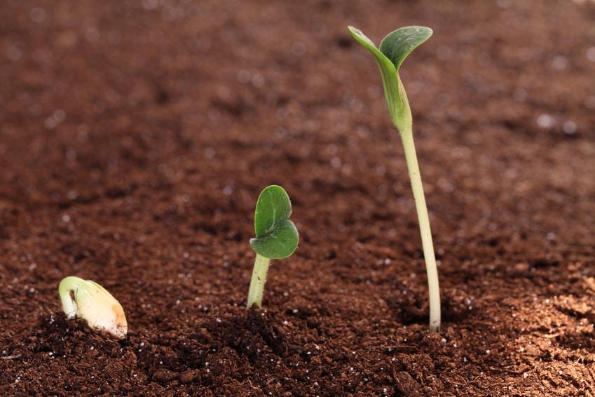 croissance d'une graine de courgette