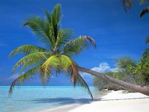 palmier-pacifique