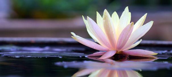 R ver de lotus divinatix - La fleur de lotus ...