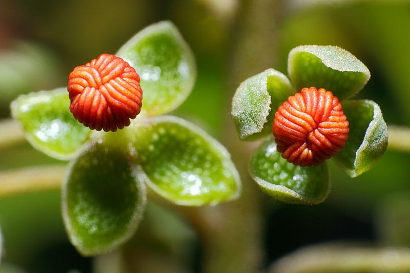 fleurs_male_nepenthes
