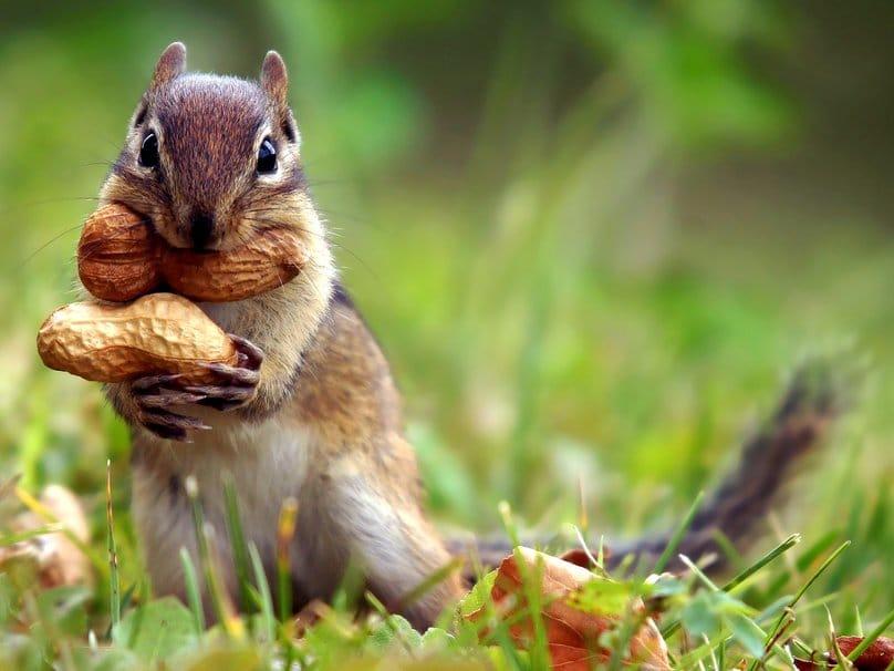 écureuil cacahuète