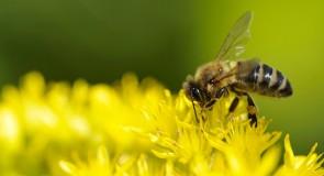 Interpréter des abeilles, cafédomancie