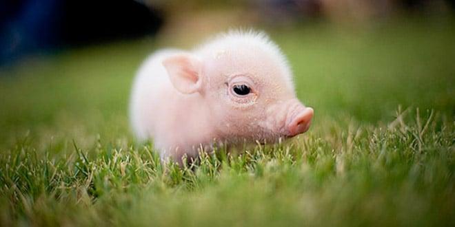 bébé-cochon