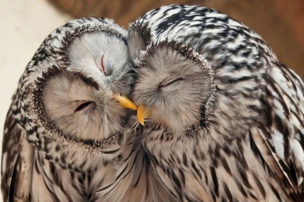 chouettes