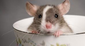 Rêver d'un rat