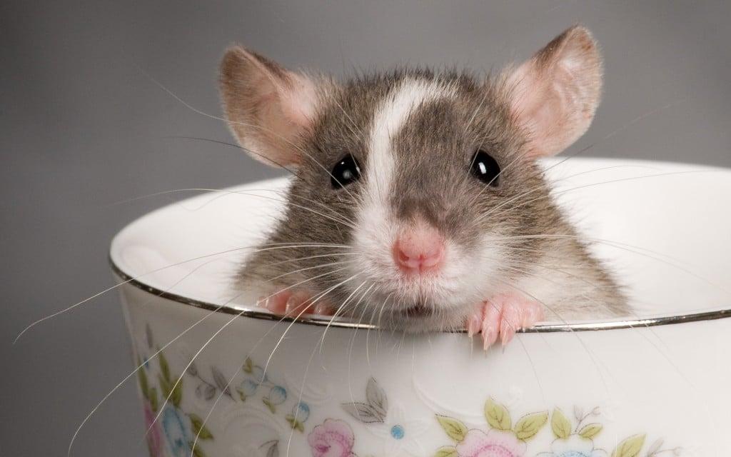 rêver de rats