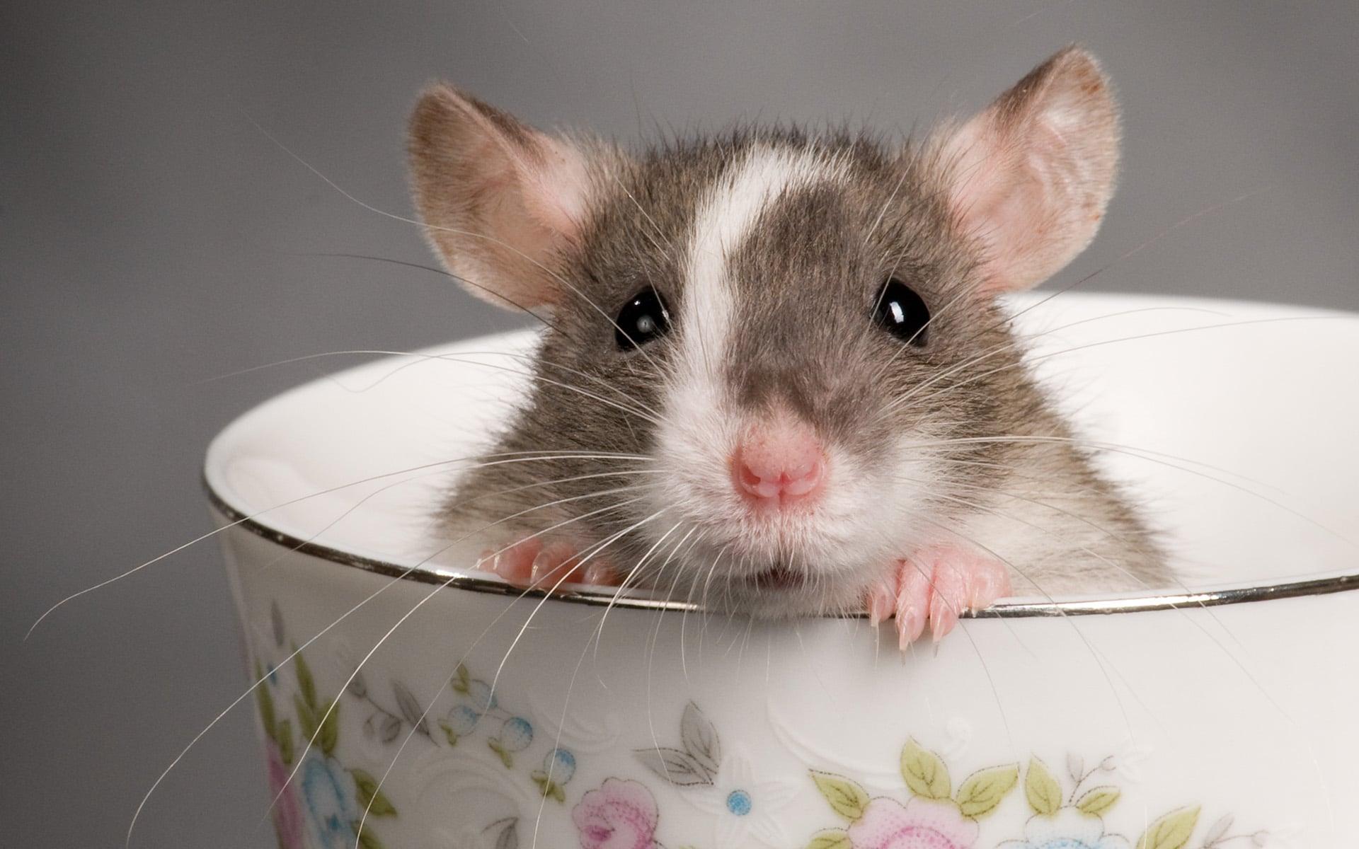 rêve rat