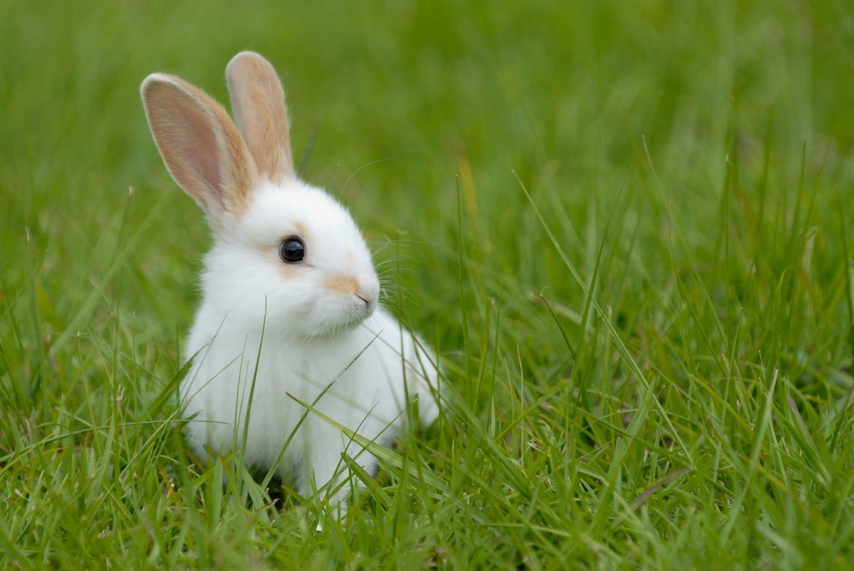 rêve lapin blanc