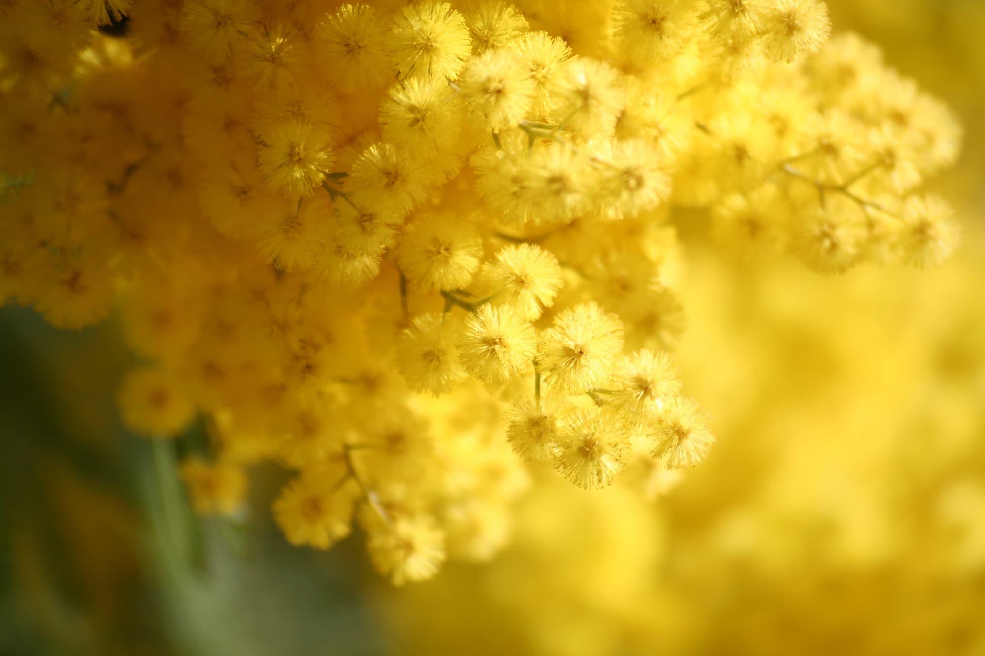 les vertus du mimosa