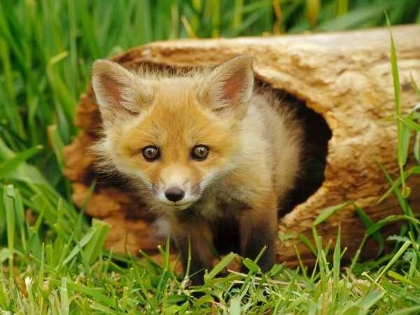 bébé renard