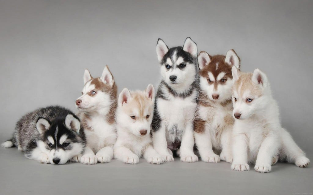 wall-1388995187_6-husky-puppies-so-cut