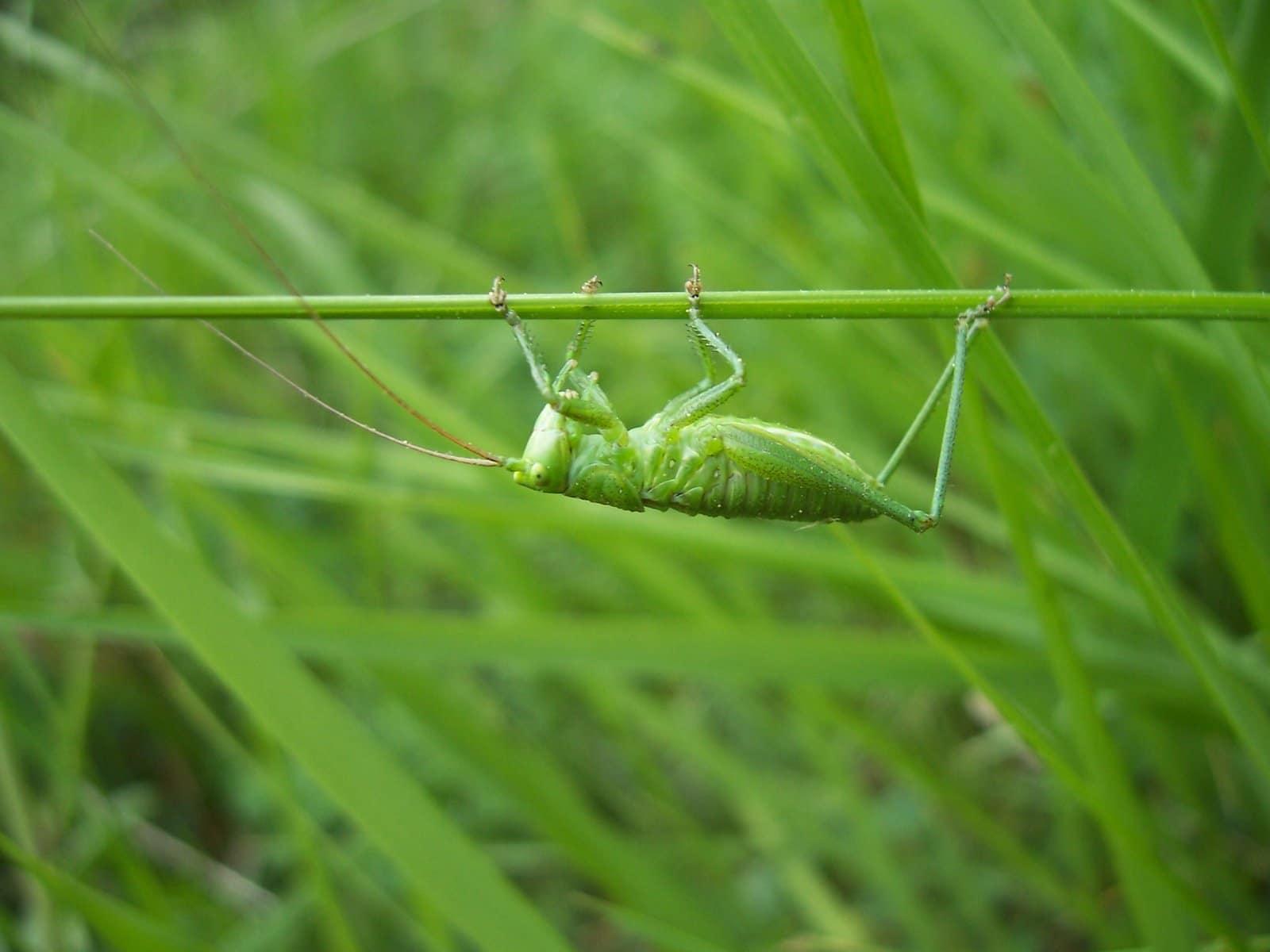Petite sauterelle