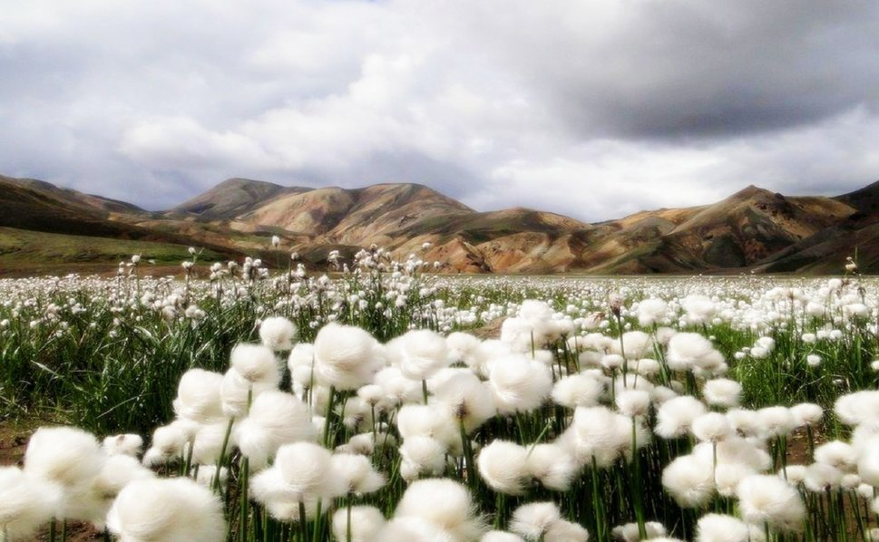 206694__cotton-fields_p