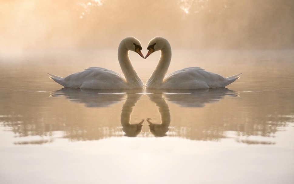 251859__swans-pond-water-night-fog-reflections-heart-couple-love_p