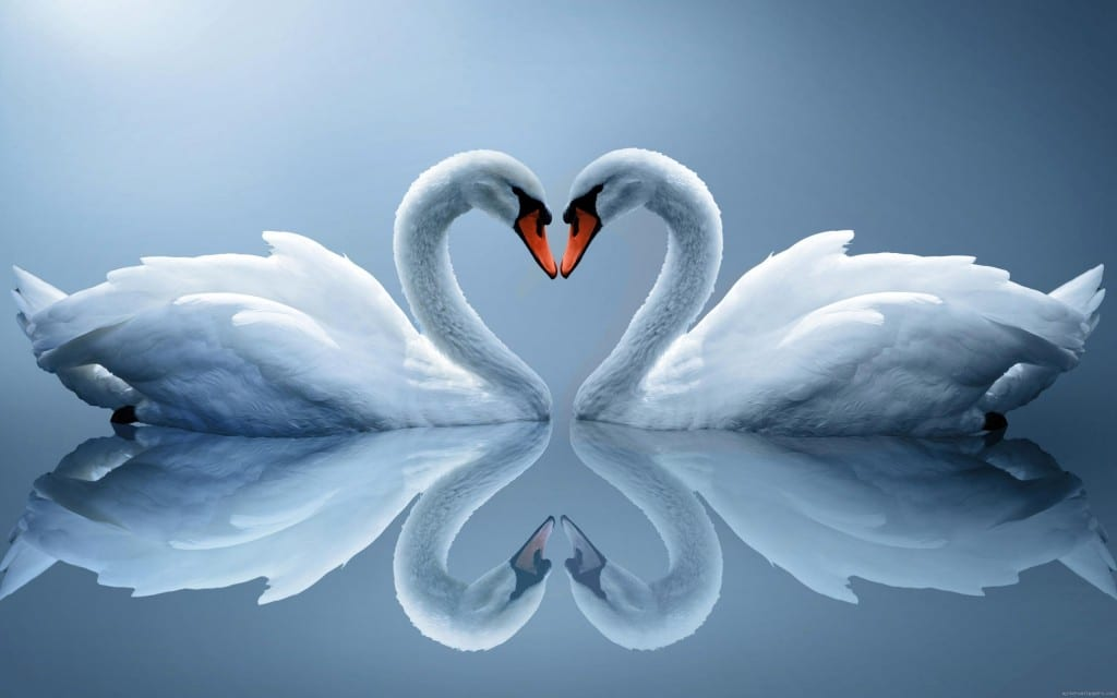 wall-1407184134_swan-as-love-heart