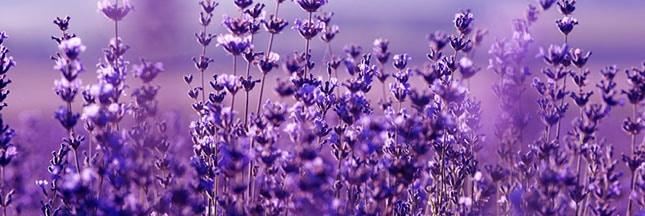 lavande-fleurs-champ-bienfaits-00-ban