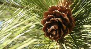 Rêver de cône de pin